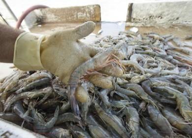 gulf-shrimp-b7eb9c0eed368289_large